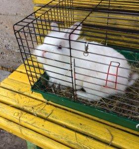 Декоративный кролик самец