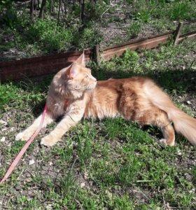Кот Мейн кун. Вязка.