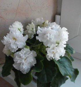 Фиалки сортовые«Пенелопа»«Свадебный букет»