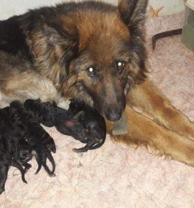 Продам щенков немецкой овчарки чистокровные