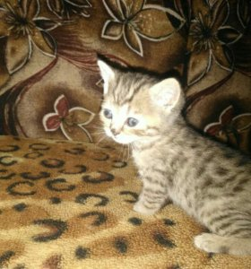 Британские чистокровные котята бесплатно