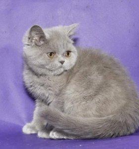 Британский котенок котик