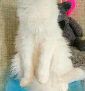 Питомник предлагает для продажи котят Мейн Кун