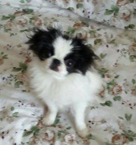 Продам щенка японского хина.
