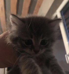 Полушотландские котята
