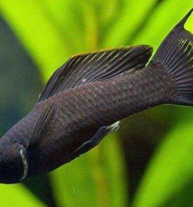 Молли (моллинезии). Аквариумные рыбки.