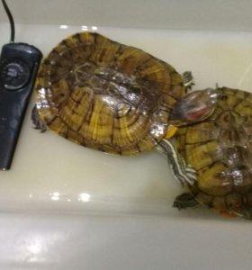 Продам красноухих черепах 1.000 р.