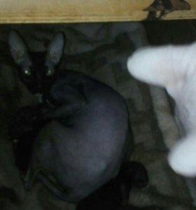 Кошечка сфинкс