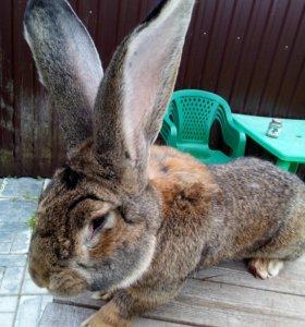 Кролики  Бельгийский Фландер и Французский Баран