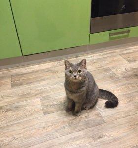 Кошка британка 2 года в добрые руки