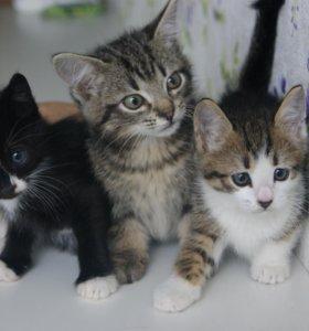 Три шикарных котенка-мальчика 1.5 месяца в дар!