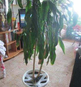 Продам пальму недорого
