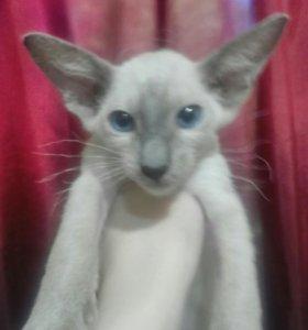 Котенок петерболд-ориентал
