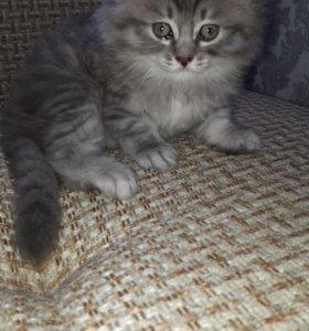 Шотланские вислоухие котятки!!!