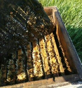 Пчелы недорого