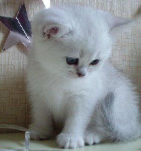 Котята британцы-серебристые шиншиллы