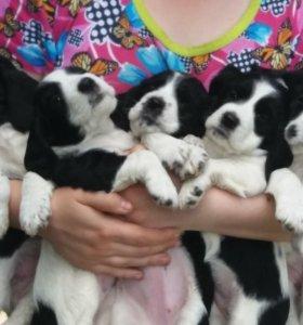 Продам щенков русского охотничьего  спаниеля