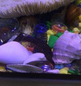 Сомик Анциструс рыбки