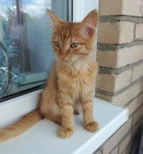 Рыжий котёнок, 2,5 месяца.