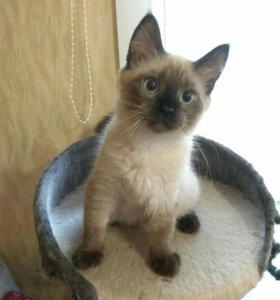 ОЧЕНЬ ЛАСКОВЫЕ Сиамские котята