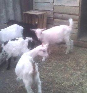 козочки 2,5 месяца от высокоудойных коз