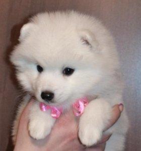 Продам белоснежных щенков японского шпица