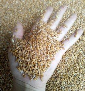 Пшеница - зерно