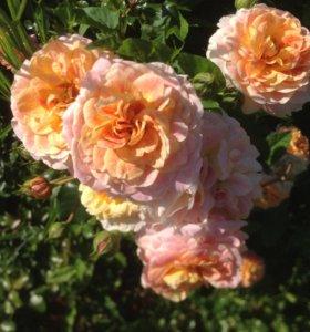 Розы на собственных корнях