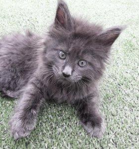 Продаётся котёнок Мей кун мальчик 2 месяца
