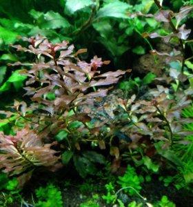 Акваримное растение, людвигия рубин мини