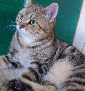 Британский котенок мальчик с родословной