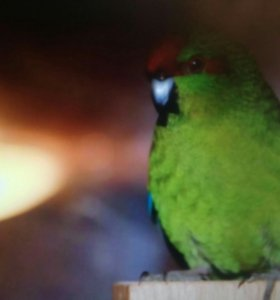 Какарик -попугайчик