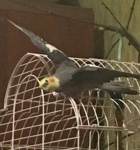 Корелла попугай