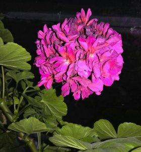 Пеларгония алая(герань) комнатный цветок