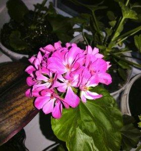 Пеларгония алая с белым(герань) комнатный цветок