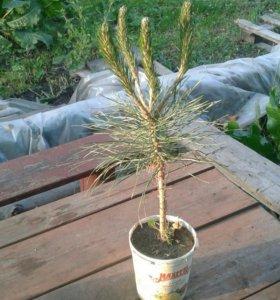 Сосна черная австрийская Pinus Nigra
