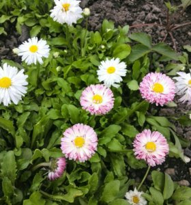 Маргаритки - садовый многолетник