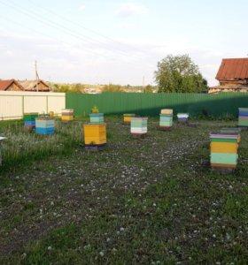 Пчелы 10-15 семей в многокорпусных ульях.