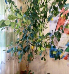 Дерево лимона 2шт.