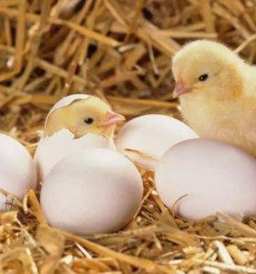 Яйцо инкубационное.