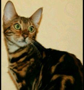 Бенгальская кошечка