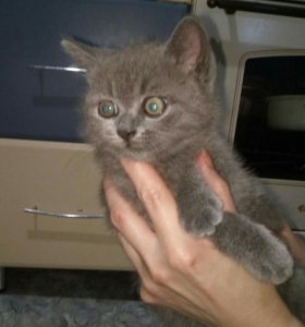Котята  британской кошки, 2 мес.