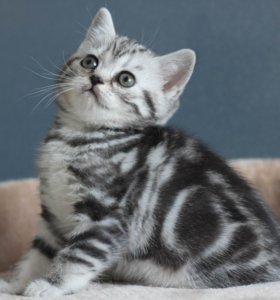 Шотландские котята с родословной