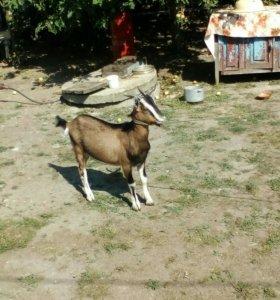 Продаются козлы