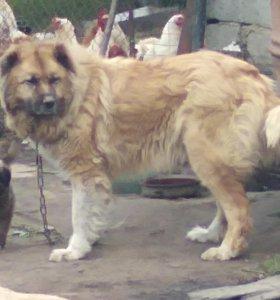 Продаются щенки Кавказской овчарки
