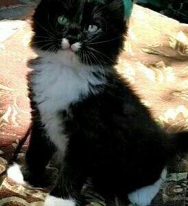 2-х месячные котята от умной кошки
