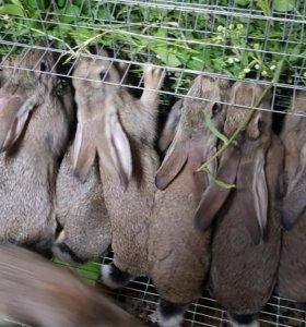 Кролики на развод и мясо кролика