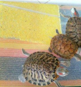 Красноухие черепахи бесплатно