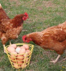 Куры несушки250Домашние яйца лоток180 . Петух1500.
