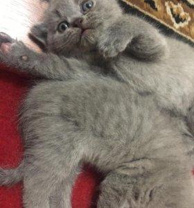 Котята ( чистой породы)
